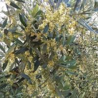 La fioritura dell'olivo – 2