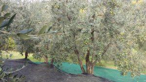 olio-toscano-extravergine-merlini-raccolta-2016-5