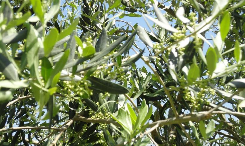La fioritura dell'olivo – 1