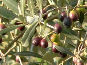 Olio-Extravergine-oliva-Merlini-Toscana-le-nostre-olive