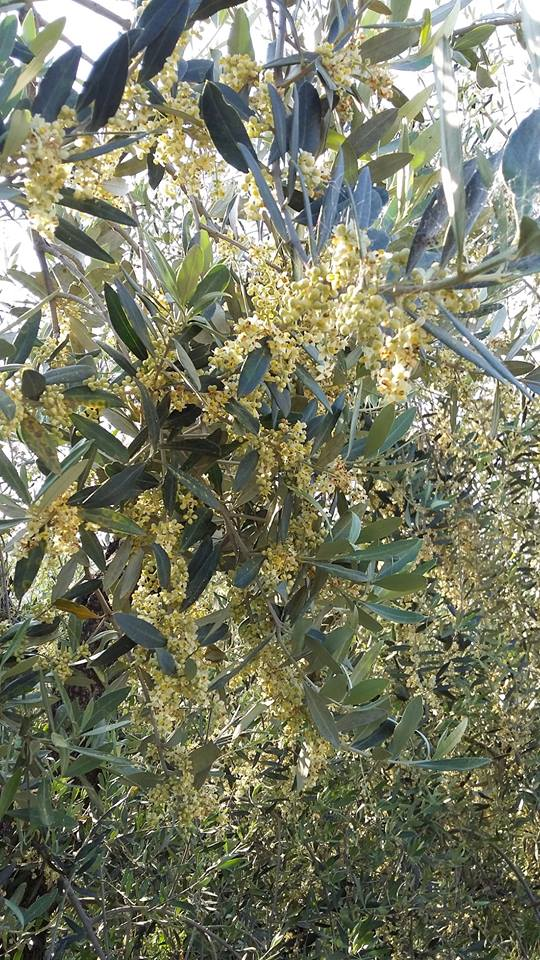 The flowering of the olive tree – 2