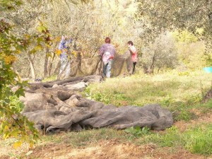 La distesa delle reti-Olio-Extravergine-Merlini-Toscana