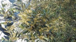 Olio-Merlini-Fioritura-Olivo-2