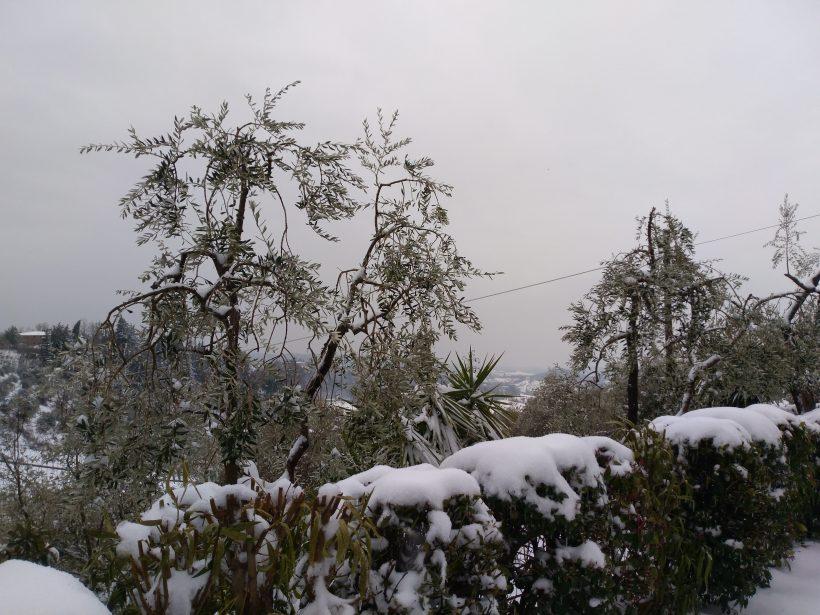 Nos oliviers en hiver : voici la neige!