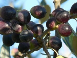 Raccolta Olive Merlini 2012