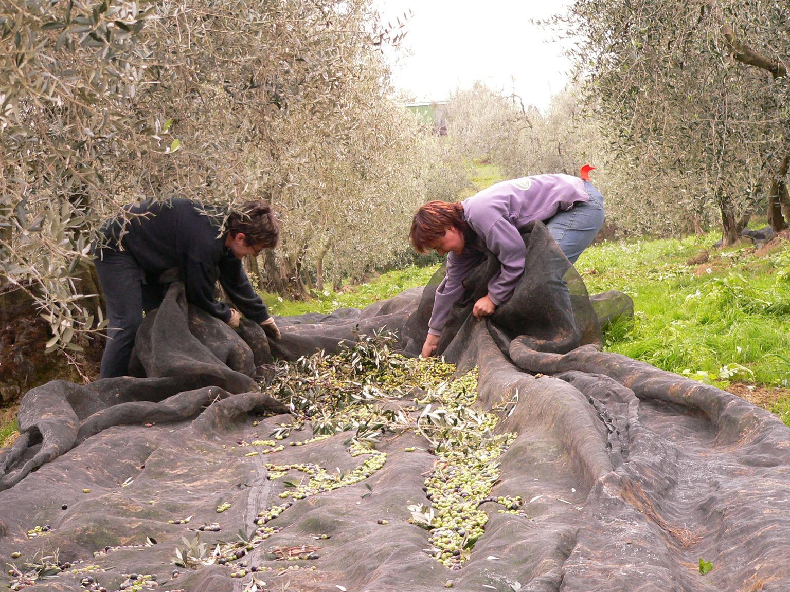 Raccolta Olive Toscana Nov 06 _1 206bassa | Olio ...