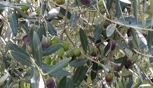 olio-merlini-nuove-olive-2
